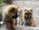 Na prodaju štenci CHOW CHOW