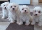 Na prodaju štenci MALTEZERA