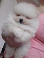 Na prodaju štenci POMERANCA