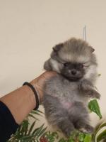 Na prodaju štenci POMERANSKOG ŠPICA BOO