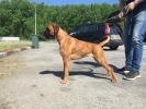 Nemački bokser štene