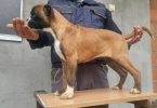 Nemački boxer, štenci