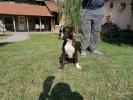 Nemački boxer, žensko štene