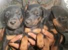 Nemački lovni terijer i bigl štenci na prodaju