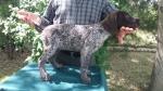 Nemački oštrodlaki ptičar štenci