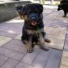 Nemački ovčar i šarplaninac štenci na prodaju