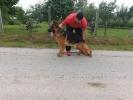 Nemački ovčar muško štene