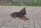Nemacki ovčar, muško štene