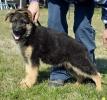 Nemački ovčar, štenad