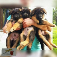 Nemački ovčar štenci na prodaju