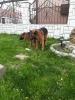 Nemački ovčar ženka na prodaju