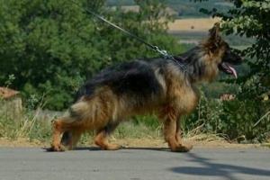 Nemacki ovcar, zenka