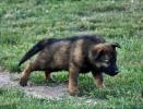 Nemački ovčari, štenad
