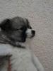 Nemački špic, prelepi štenci
