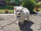 Nemački ŠPIC snežno beli štenci