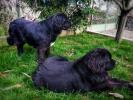 Newfoundland štenci Hrvatska