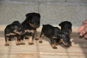 NLT štenci