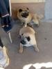 Odrasli psi MOPSA na prodaju