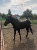 Omica, mlada ženka konja