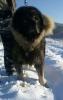 Ovcarski pas - Sarplaninac, stenci i odrasli psi
