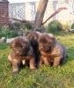 Ovčarski pas - Šarplaninac, štenci