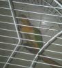 Papagaji - ridjokapi medvedići