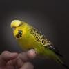 Papagaji, ručno othranjeni