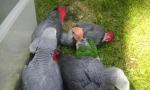 Papagaji – Žako i ridjokapi medvedići