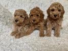 Patuljasta pudla štenci
