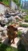 Patuljasti kratkodlaki jazavčar za parenje