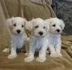 Patuljasti šnaucer, beli štenci