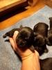 Patuljasti šnaucer štenci