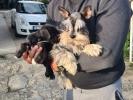 PATULJASTI ŠNAUCERI - prelepi štenci