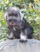 Patuljasti, srednji i veliki šnaucer štenci na prodaju
