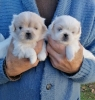 Pekinezer štenci prelepi