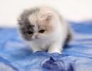 Persijske i egzota macici piggy look