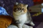 persijski i egzota macici