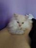 Persijski mačak
