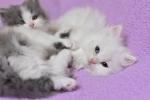 Persijski mačići (Doll face)