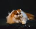 persijski macici za prodaju