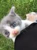 Persijski mačići