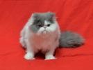 Persijski UZGOJNI muzjaci i zenska maca