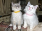 Pisici ragdoll acasă ridicate