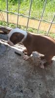Pitbull terijer štenci