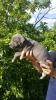 Plavi pit bul štenci vrhunskog porekla