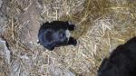 Poklanjaju se štenci od mame labradora