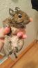 Poklanjam degu vevericu
