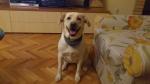 Poklanjamo labradorku Belu :)