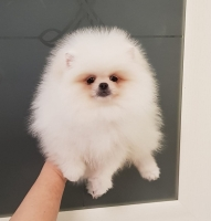 Pomeranac Boo beli teddy bear