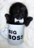 Pomeranac BOO, čistokrvni minijaturni štenci crni i oranž